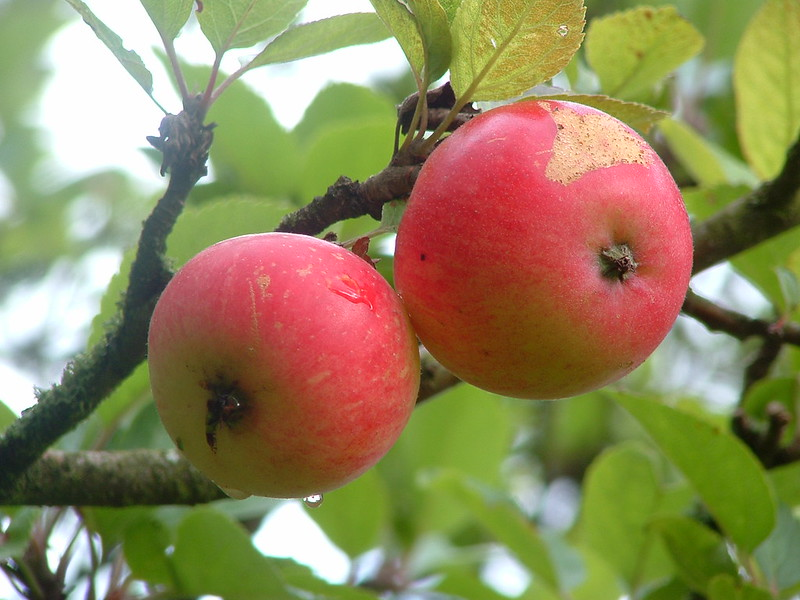 Discovery Apples by Bob Balmer Flickr